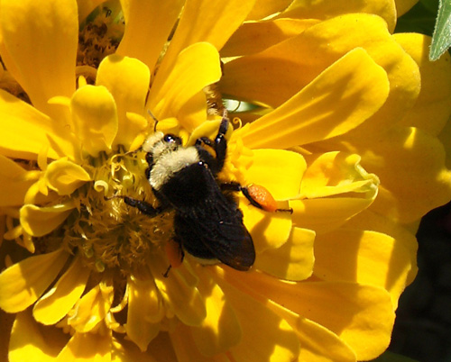 Bombus vosnesenskii, the yellow-faced bumblebee studied by Shalene Jha and Claire Kremen. The bumblebees - important pollinators - are negatively impacted by impervious cover and forage long distances to find patches of diverse flowers.