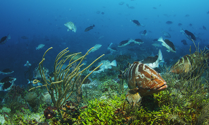 Success of Conservation Efforts for Important Caribbean Reef Fish Hinges on Climate Change