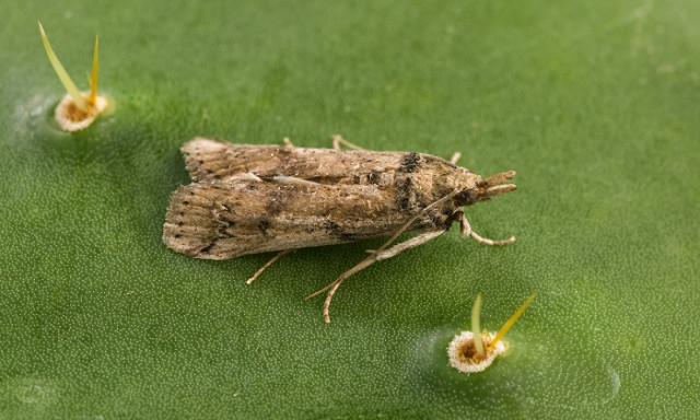 Invasive Cactus Moth Likely to Spread and Destroy Native Prickly Pear