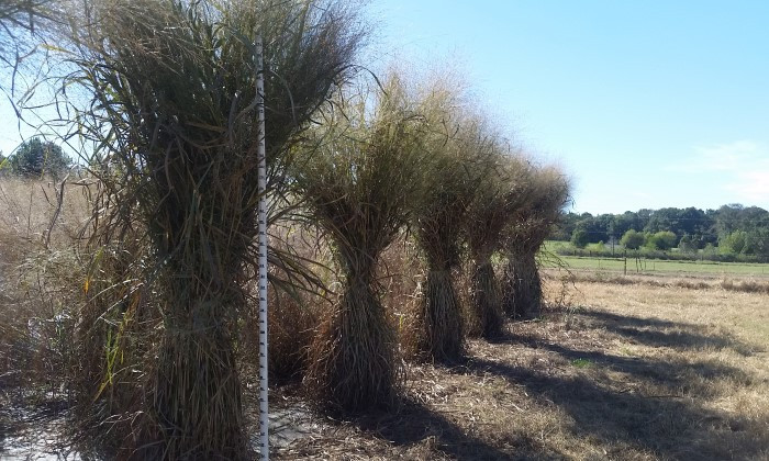 Key Switchgrass Genes Identified, Which Could Mean Better Biofuels Ahead