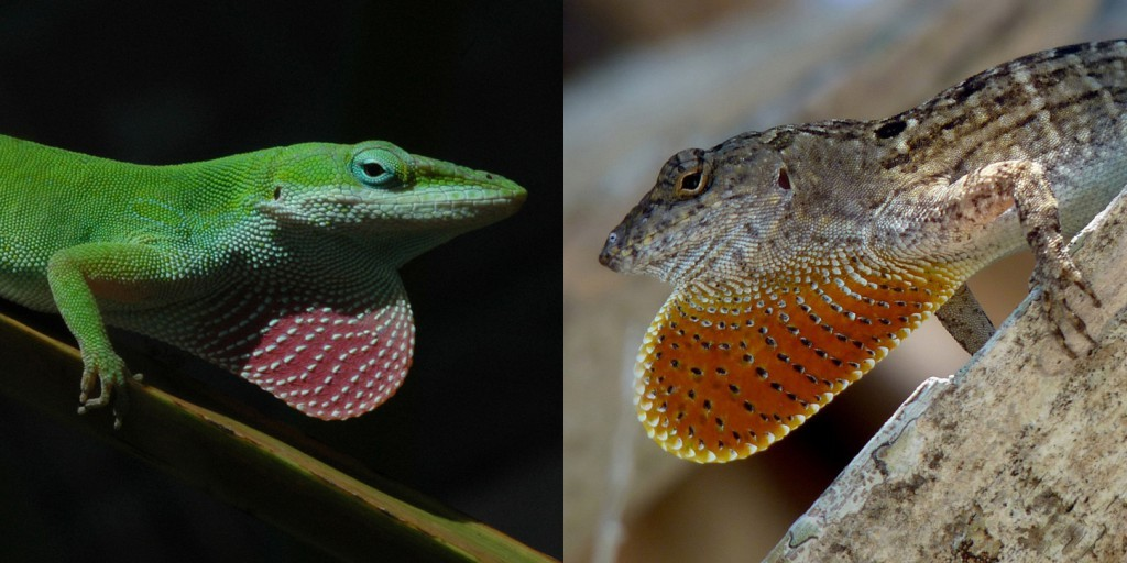 Florida Lizards Evolve Rapidly, Within 15 Years and 20 Generations