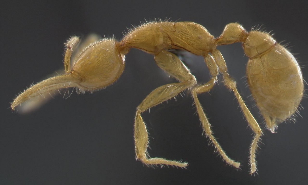 Oldest Living Lineage of Ants Discovered in the Amazon