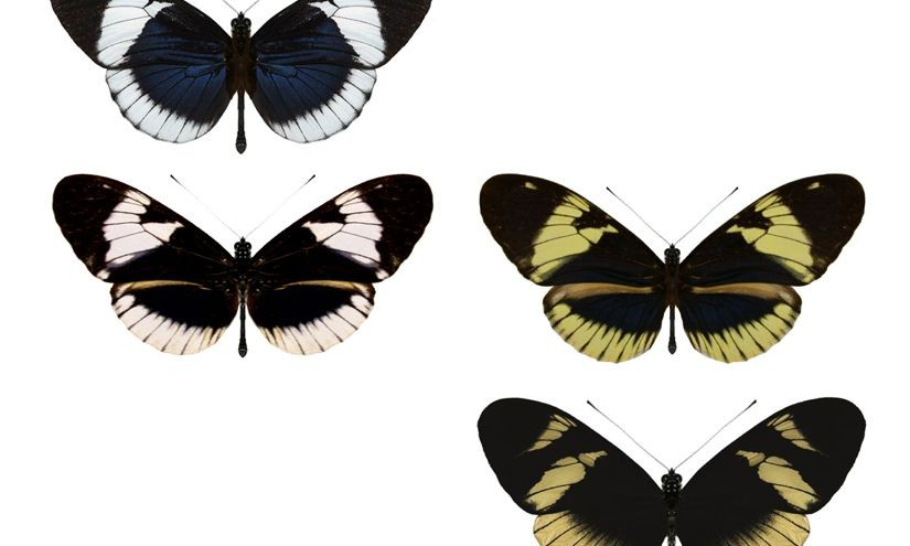 Caught in the Act: Population of Butterflies Appears to Be Splitting Into Two Species
