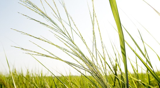 Switchgrass and Climate Change