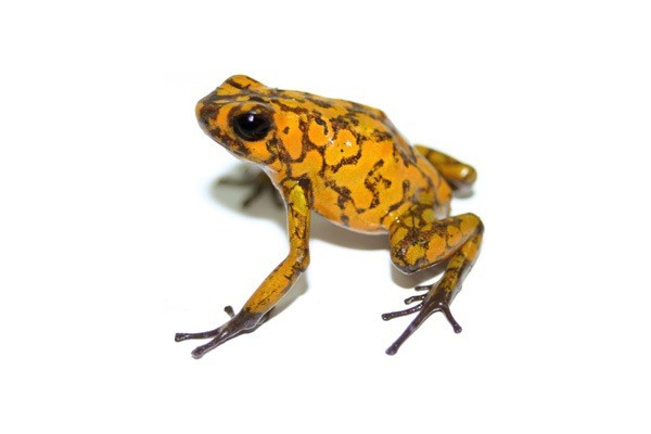 Amazonian Amphibian Diversity Traced to Andes