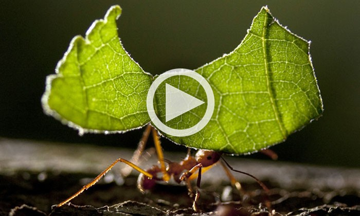 Ulrich Mueller and Leafcutter Ants: A Story of Co-Evolution