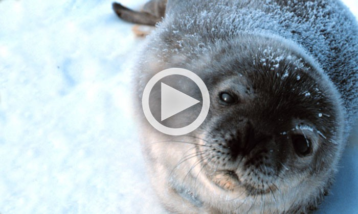 Weddell Seals Hunting and Living Beneath Antarctic Ice