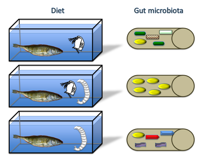 Fish that are picky eaters, focusing on just one type of food, such as small crustaceans (top) or chironomid insect larvae (bottom), have more diverse microbial communities in their intestines. In contrast, fish eating a more diverse mixture of foods have less diverse microbes in their intestine (middle). This is illustrated with a cartoon of multiple species of microbes (shaded shapes) inside the fish intestine (tan cylinders on right). Image courtesy of Dan Bolnick.