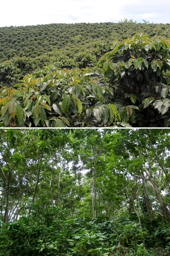 Sun grown versus shade grown coffee plantations