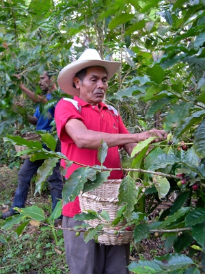 Farmer picking coffee