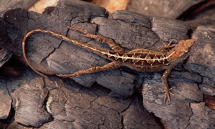 Leaping Lizards: Scientists Catch Evolution in Action