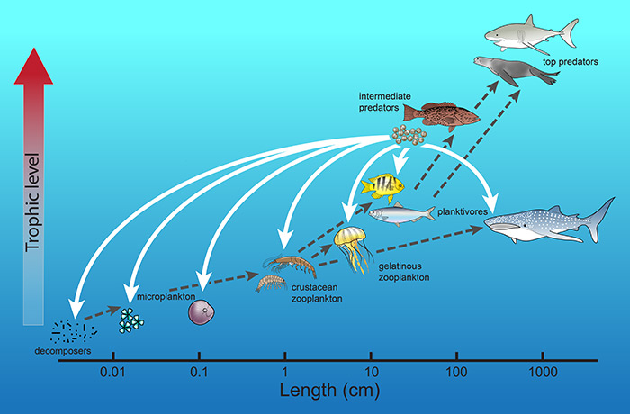 Fish eggs turn conventional view of ocean food webs upside for Fish on energy