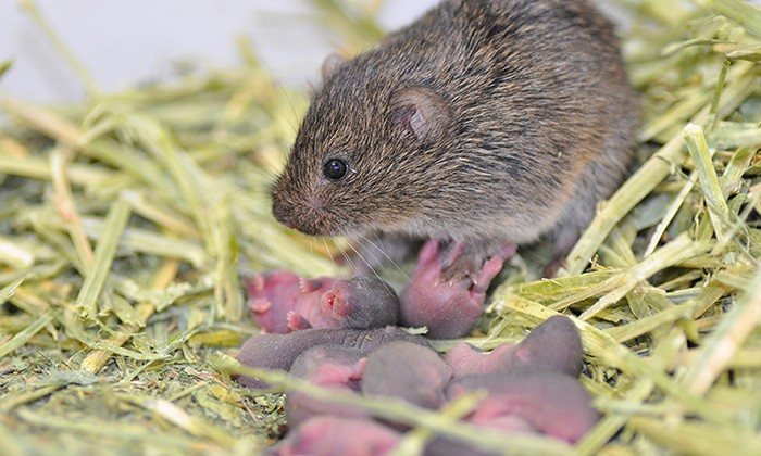 Some Prairie Vole Brains Are Better Wired for Sexual Fidelity