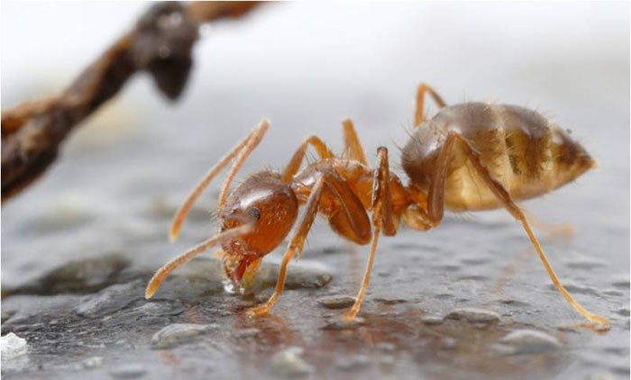 Chink Found in Armor of Invasive Crazy Ant