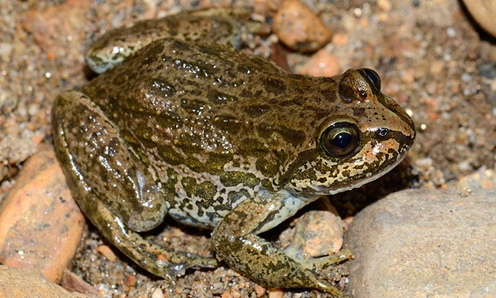 Amphibians Join the Genomic Revolution