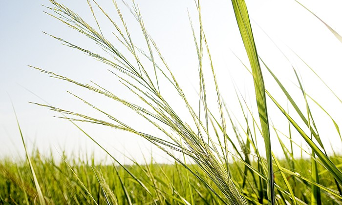Researchers Receive $15 Million for Biofuel Crop Study