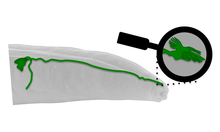 Magnetic field sensor in C. elegans worm