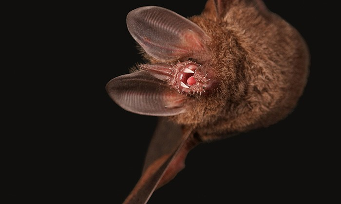 Bats Use Second Sense to Hunt Prey in Noisy Environments