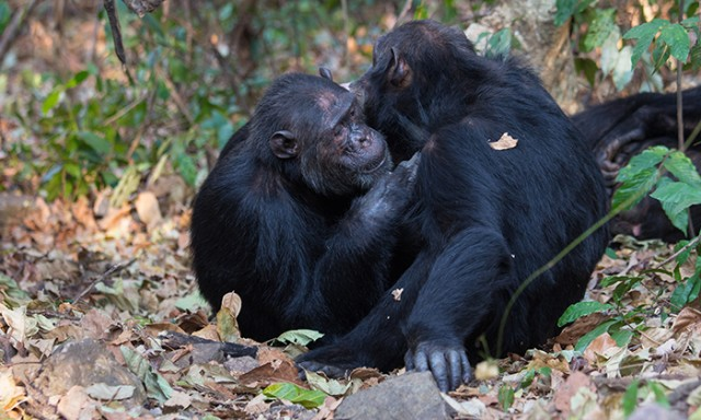 Sociable Chimps Harbor Richer Gut Microbiomes