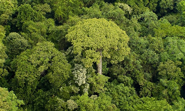 Why a Simple Law Governs Tropical Rainforest Trees