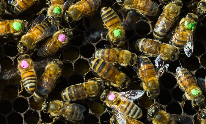 Overuse of Antibiotics Brings Risks for Bees — and for Us