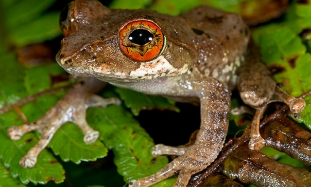 Frogs Illustrate the Creative Destruction of Mass Extinctions