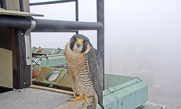 New Falcon Cam Offers Live Viewing of UT Tower's Resident Raptor