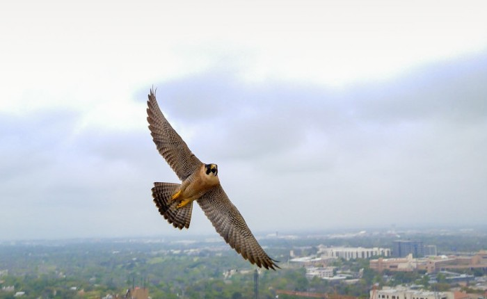 UT Tower Falcon May Have Finally Found True Love
