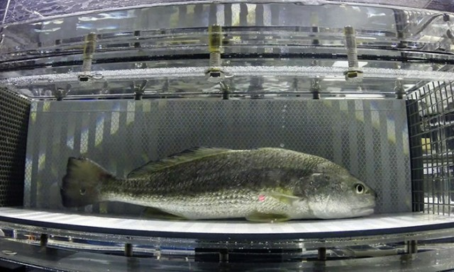 Speed, Endurance and Performance Factor into Fish Olympics