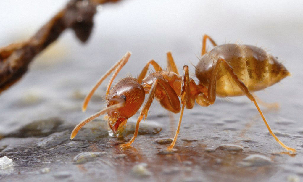 Arming Texas for War on Crazy Ants