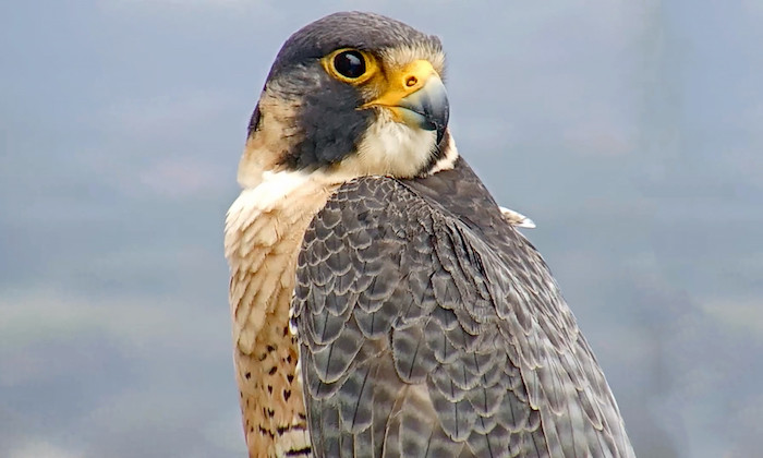 UT's Biodiversity Center Prepares to Learn from Falcon's Eggs