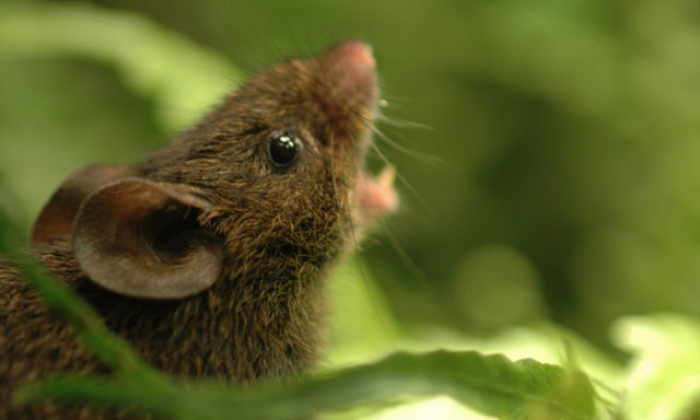 In Singing Mice, Scientists Find Clue to Our Own Rapid Conversations