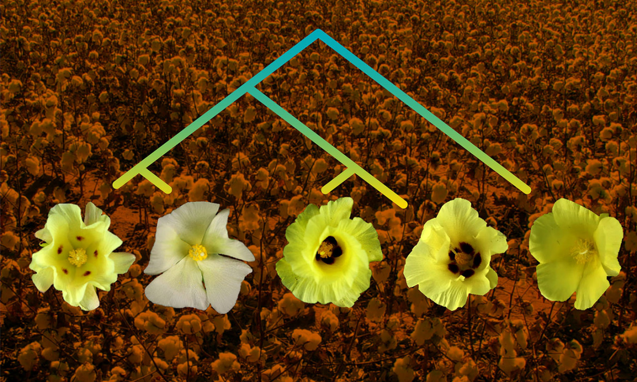 Genomes Assembled from Five Cotton Species Could Lead to Better Varieties