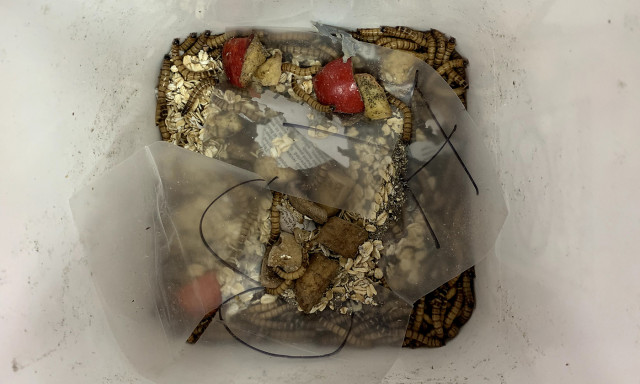 Undergraduate Research Aims to Harness the Power of Mealworms to Degrade Plastic