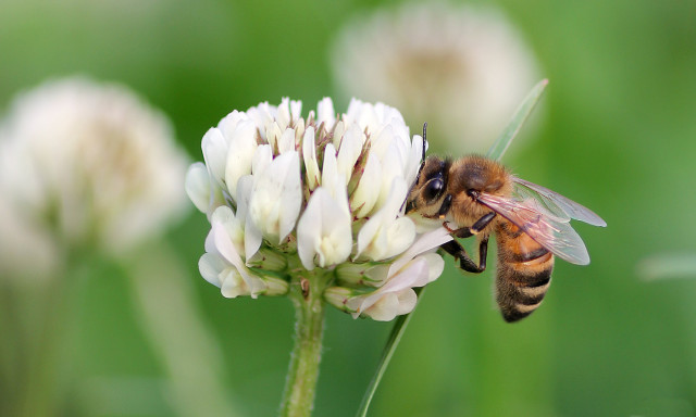 Combining Agrochemicals More Harmful to Bees than Previously Understood