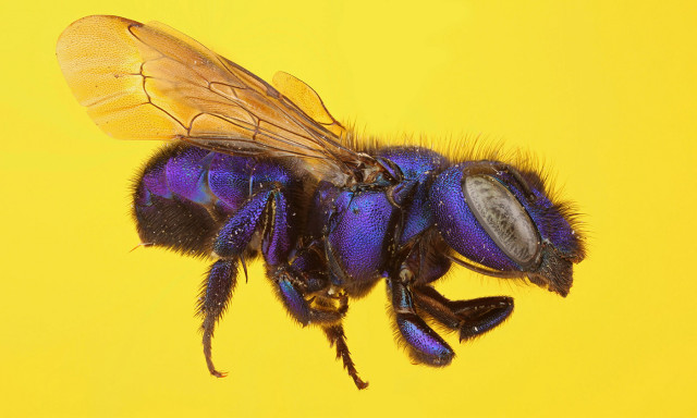 Like Their Domestic Cousins, Native Bees are Hurt by Pesticides
