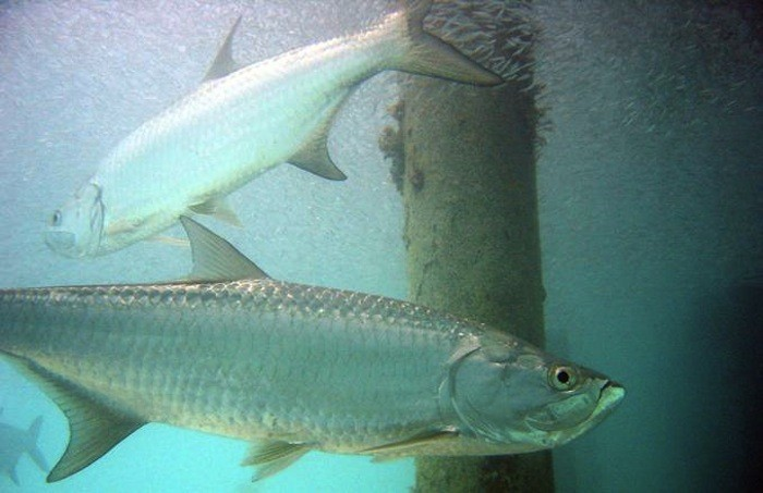 Scales Can Tell a Tarpon's Tale
