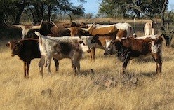Texas Longhorn Genome Decoded