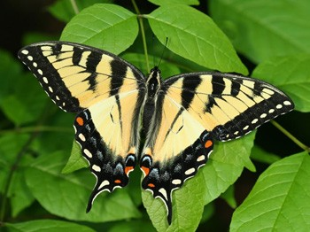 Appalachian Tiger Swallowtail Butterfly A Hybrid Species Of Two Other Swallowtails