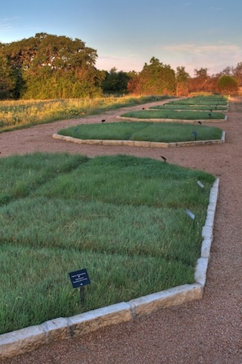Lawn of Native Grasses Beats Traditional Lawn for Lushness and Weed Resistance