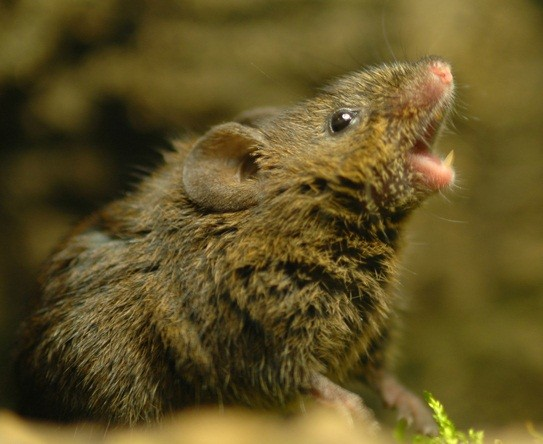 Research on Singing Mouse Seeks to Understand the Language Gene